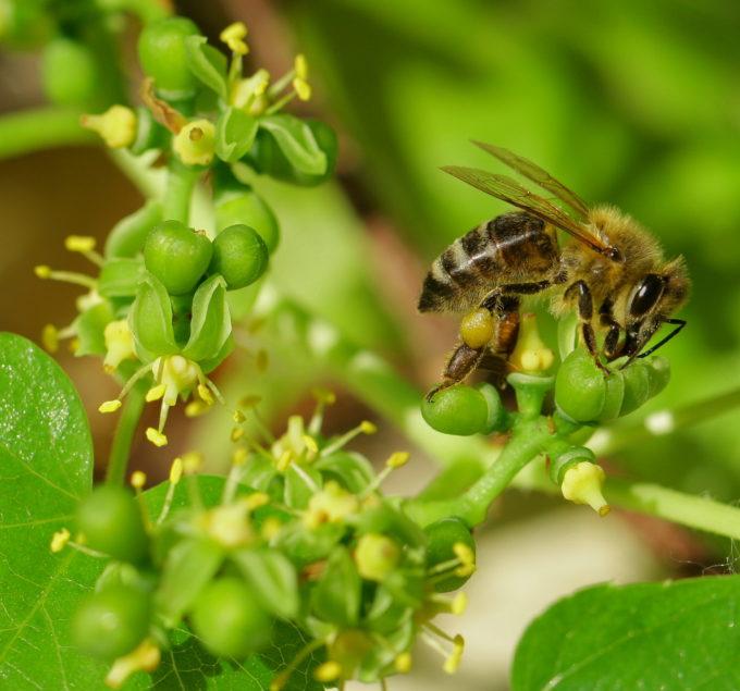 Japán vadszőlő