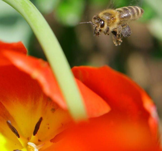 Pompás tulipán